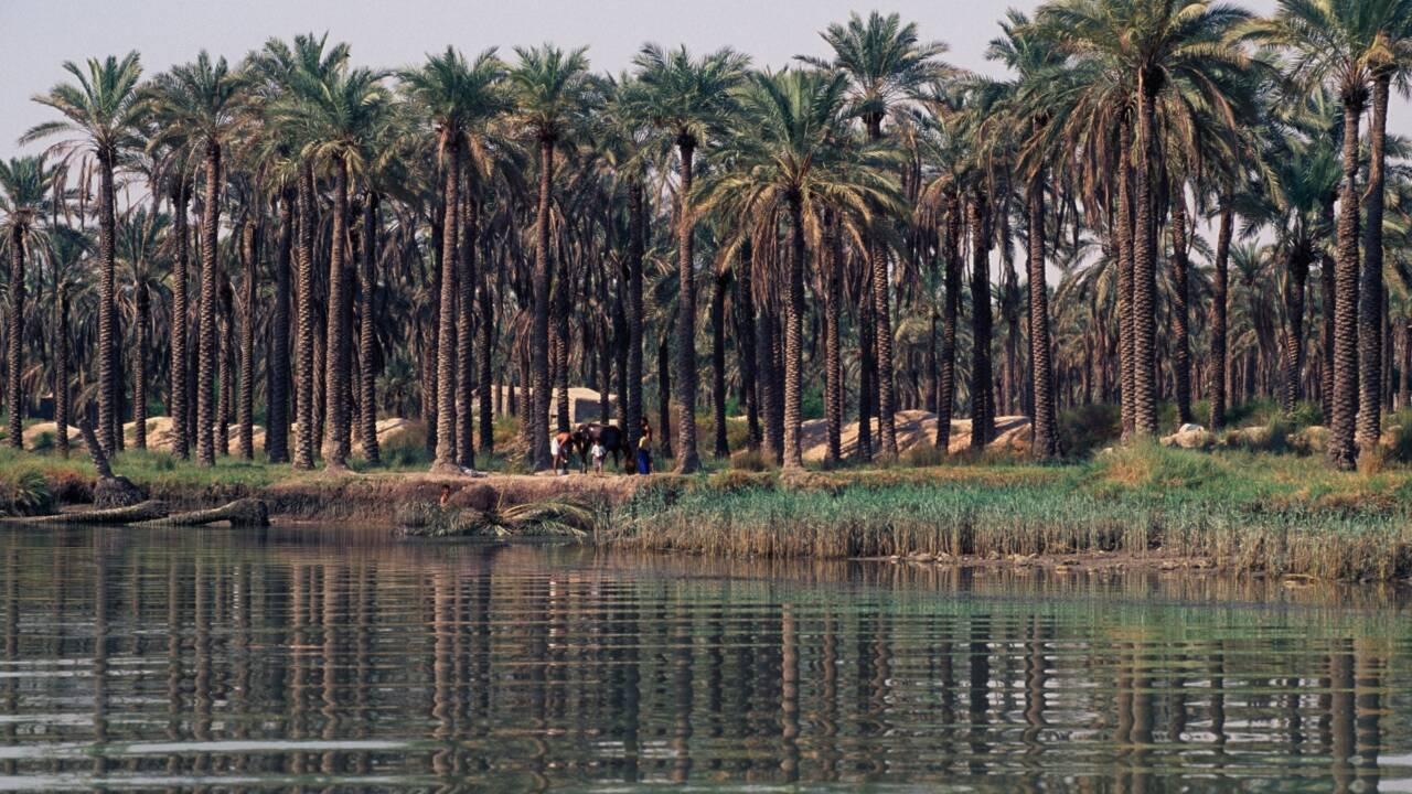 """Irak : """"Grimpeur de palmiers"""", profession millénaire et dangereuse en voie de disparition"""
