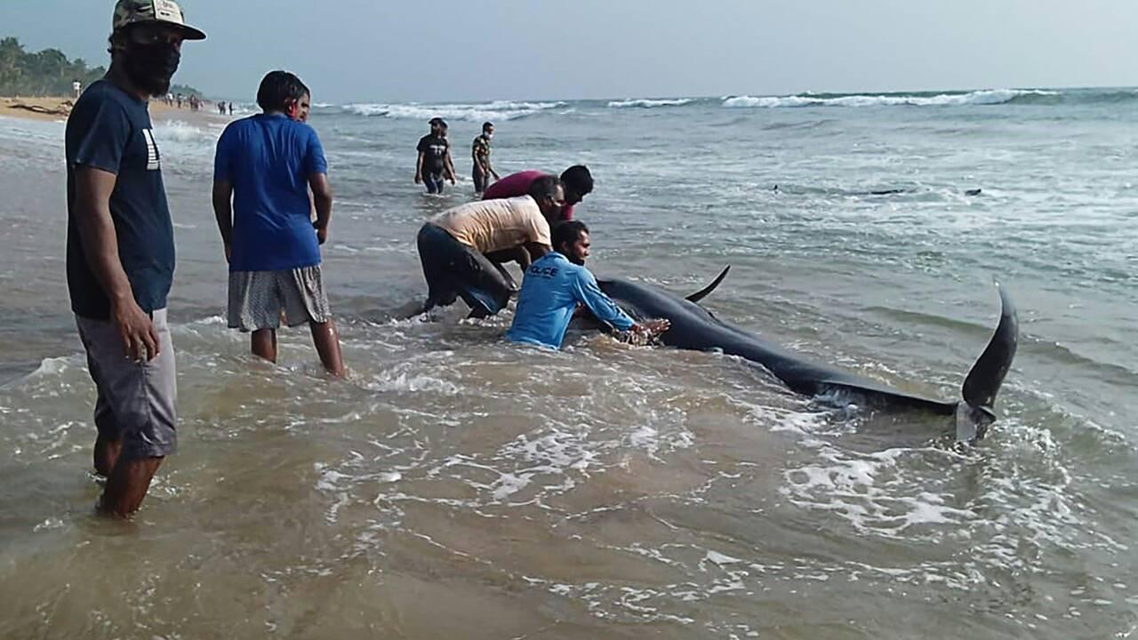 """Opération sauvetage réussie pour les 120 """"dauphins-pilotes"""" échoués au Sri Lanka"""