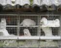 Danemark: une mutation du Covid-19 oblige l'abattage de millions de visons