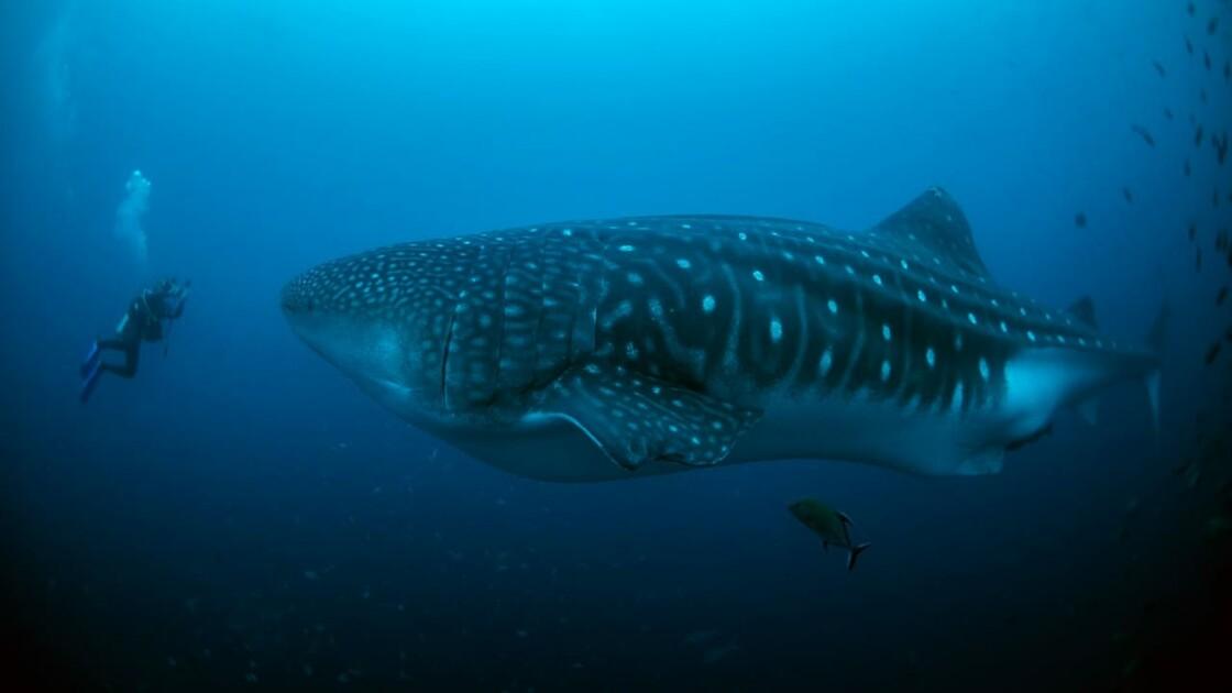 Alliée des scientifiques, Nemo la femelle requin-baleine est de retour aux Galápagos après un long périple