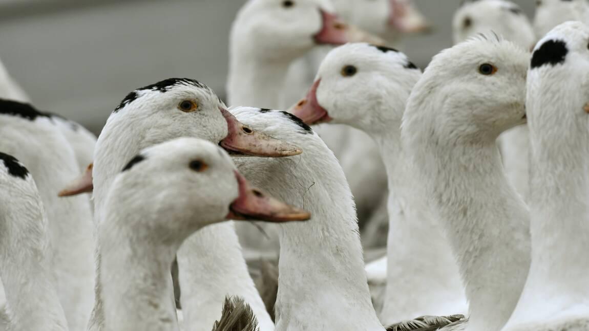"""Abattages renforcés contre une grippe aviaire """"hors de contrôle"""" dans le Sud-Ouest"""