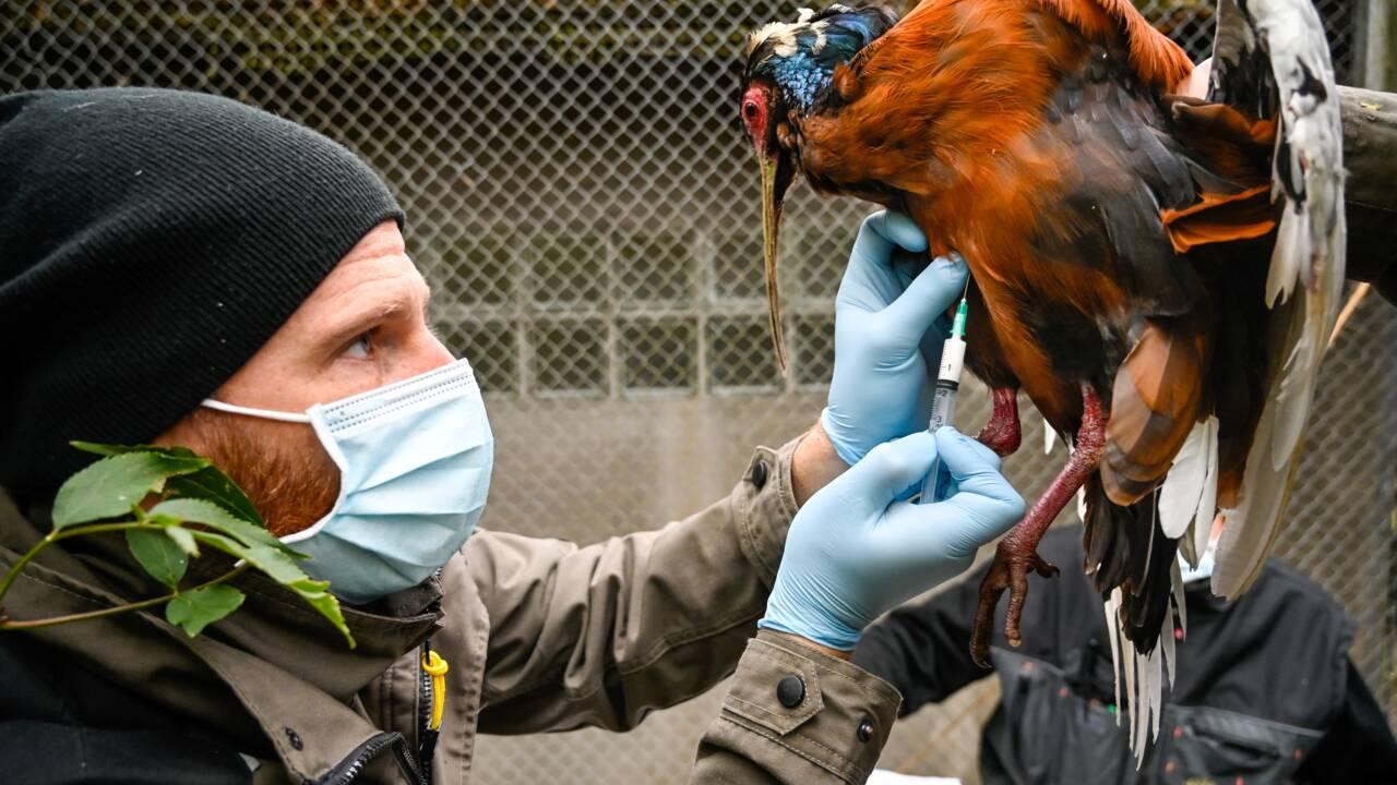 Vaccination contre la grippe aviaire pour 500 oiseaux du zoo de Mulhouse