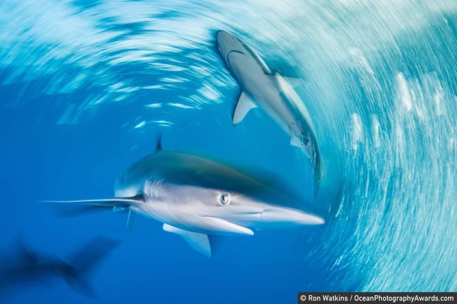 Le bal des requins