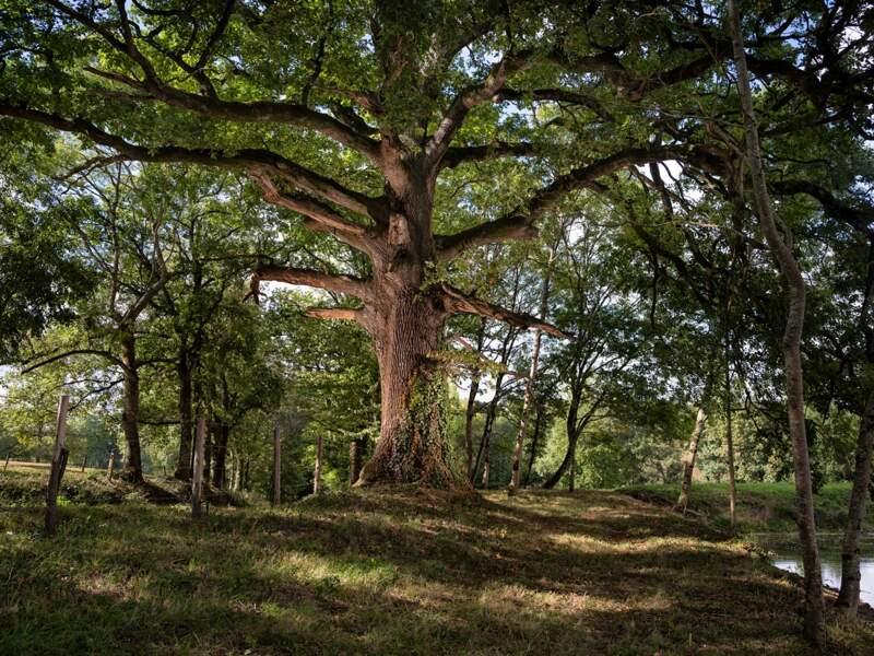 """Le chêne ou """"châgne"""" du Plessis Landry"""