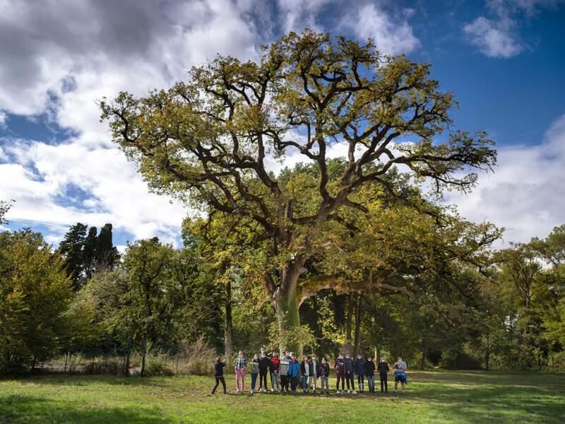 Le vieux chêne pubescent de Castelnaudary