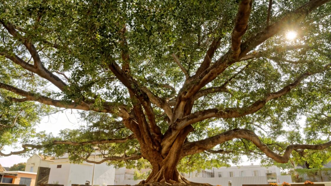 Arbre de l'année 2020 : votez pour les plus beaux arbres du patrimoine français