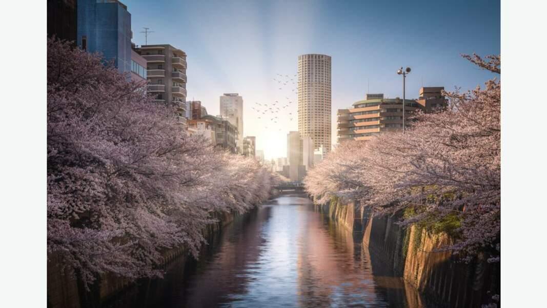 Cerisiers en fleurs, sakura en japonais, le long de la rivière Meguro