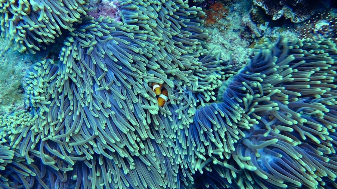 Les corauxvont-ils tous disparaître ?