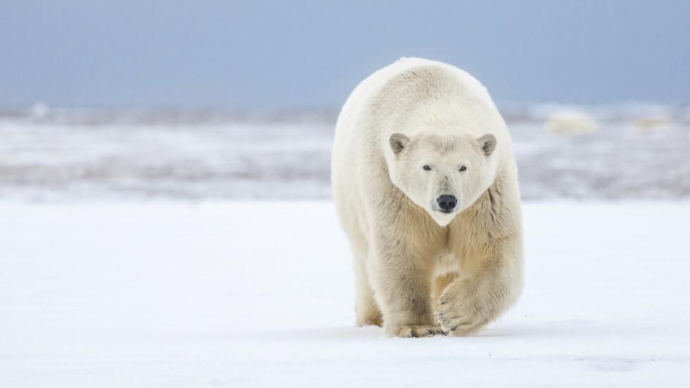 Trump avance à marche forcée vers les forages dans une zone protégée de l'Arctique