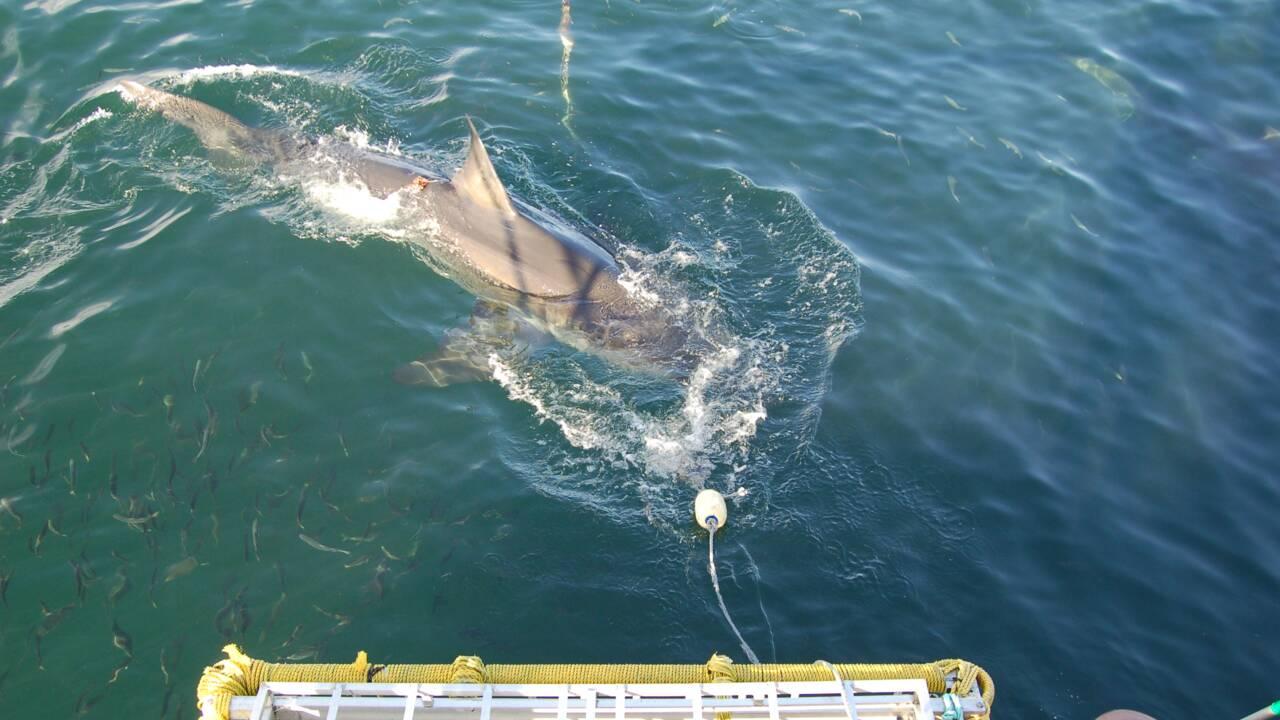 Des orques pourraient être responsables de la disparition des requins blancs au large du Cap