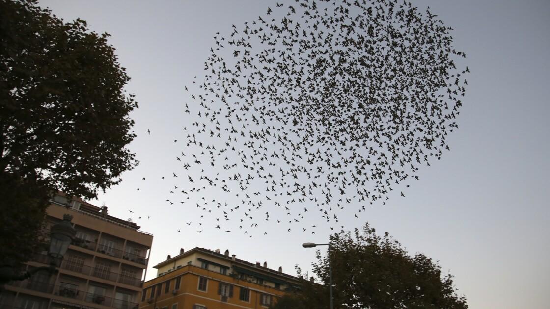 A Ajaccio, des faucons pour chasser 200.000 étourneaux et éviter leurs déjections