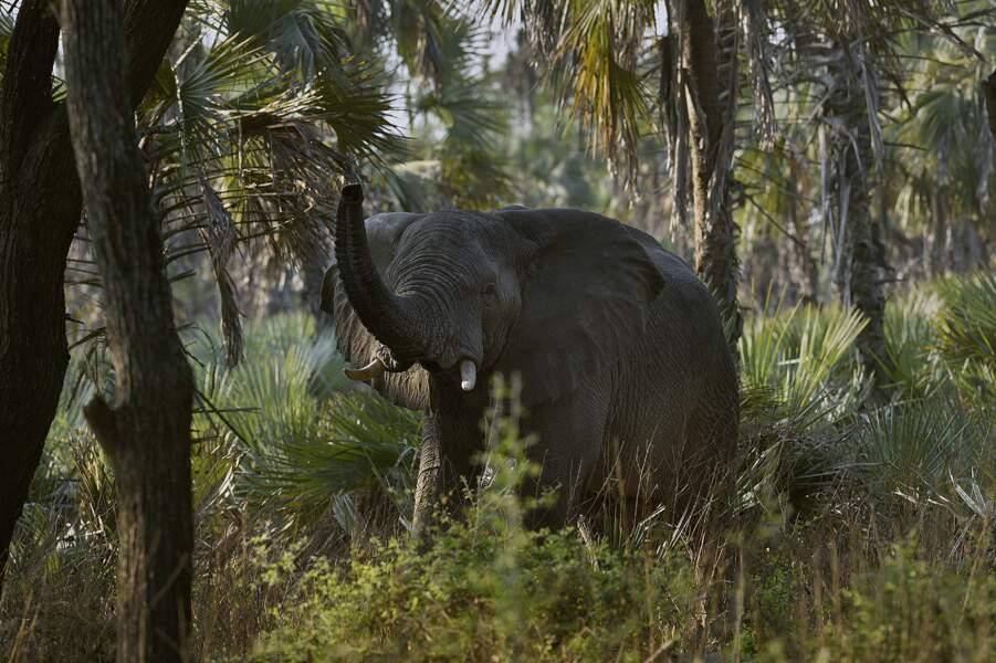 Des éléphants chassés pour leur ivoire