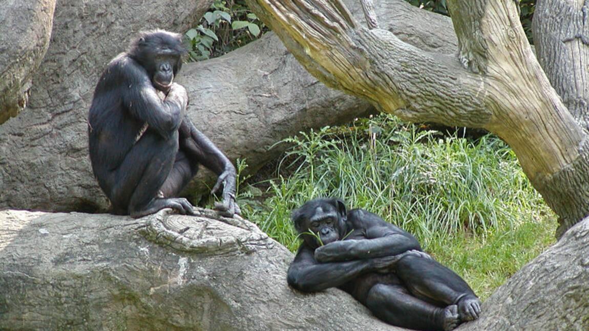 Les 5 infos insolites sur le bonobo