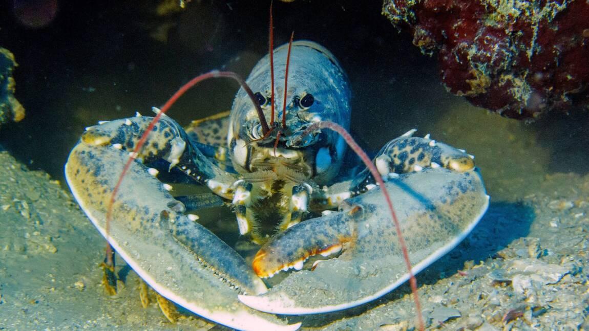 Quelles sont les différences entre le homard, la langouste et la langoustine?