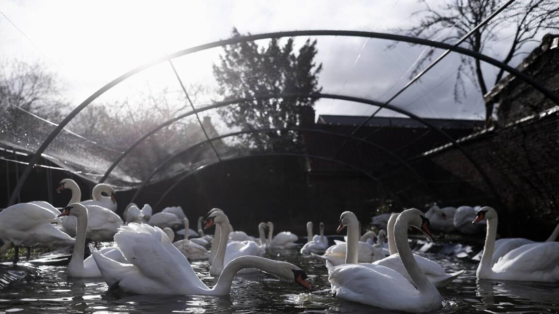 Grippe aviaire: 120 cygnes retirés des canaux de Bruges pour être confinés