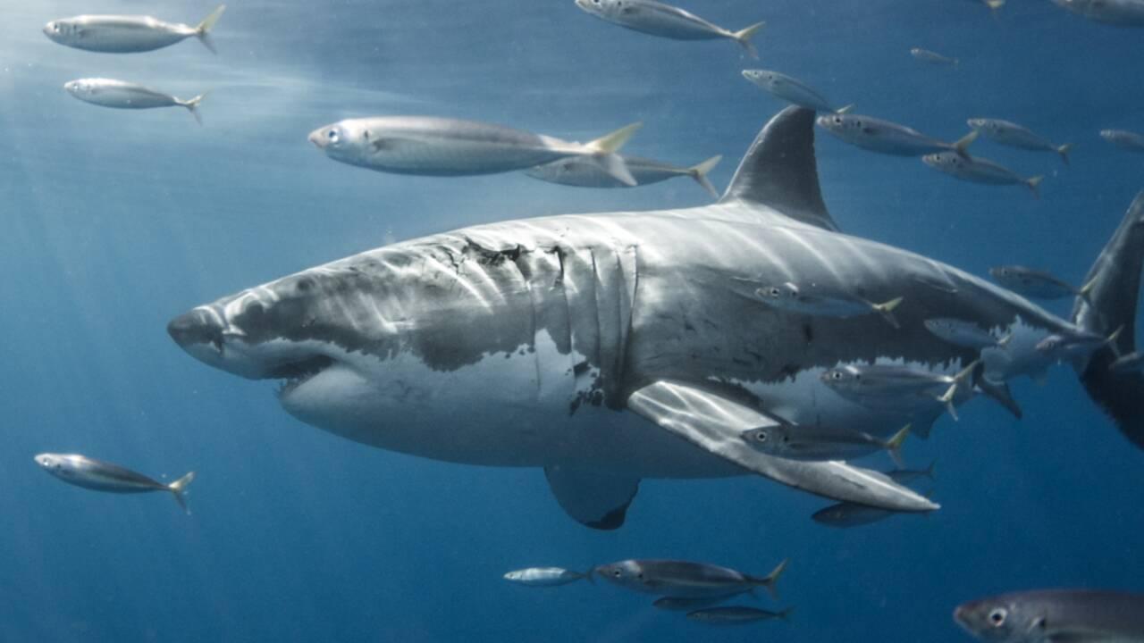 De violents affrontements entre des requins blancs et des calmars identifiés au large du Mexique