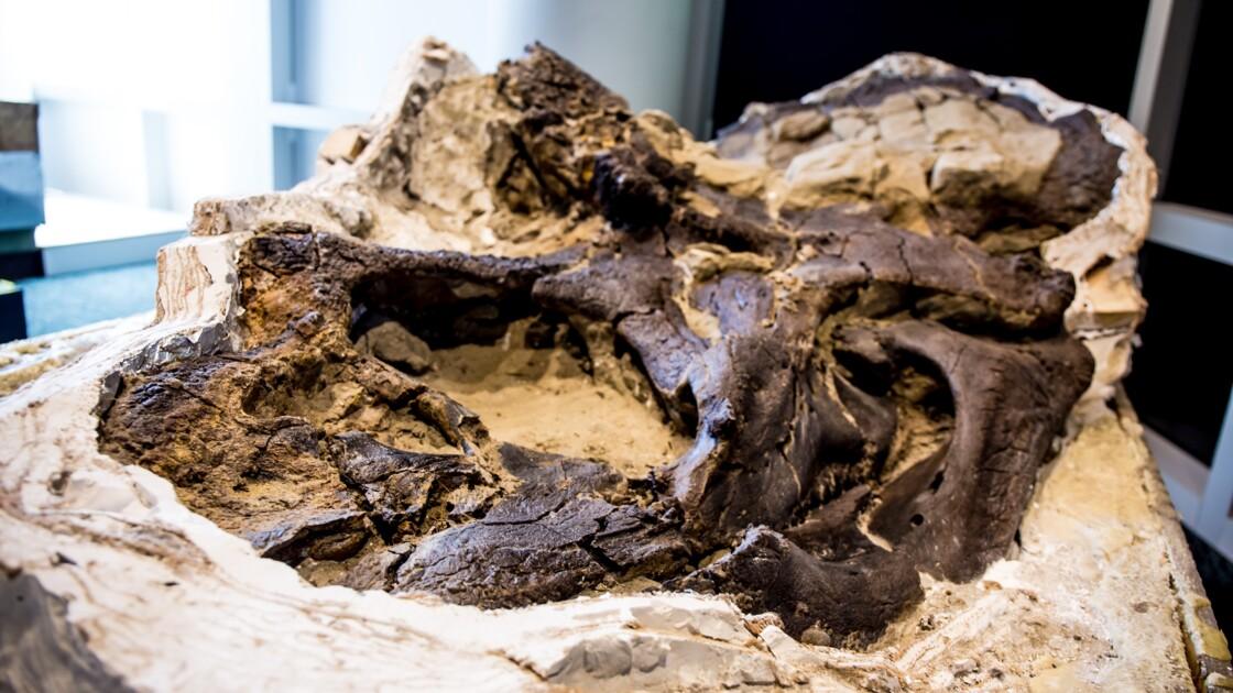 """Les fossiles de deux dinosaures figés """"en plein duel"""" vont enfin pouvoir révéler leurs secrets"""