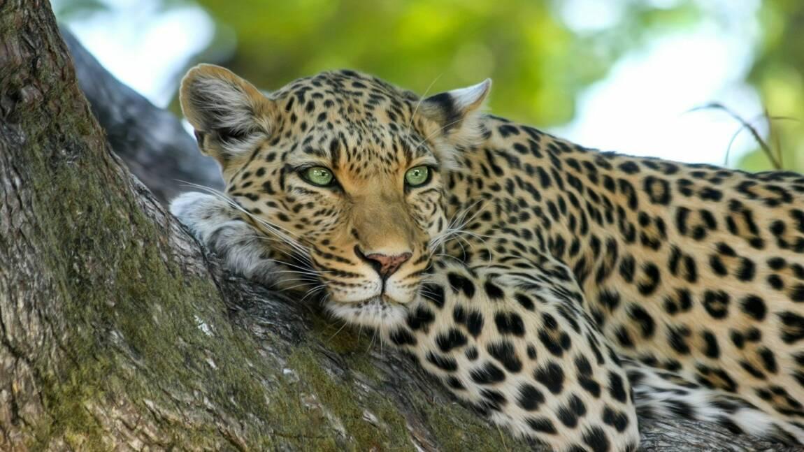 Léopard, jaguar, guépard: comment les différencier?