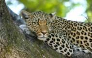 Leopardo, jaguar, guepardo: ¿cómo distinguirlos?