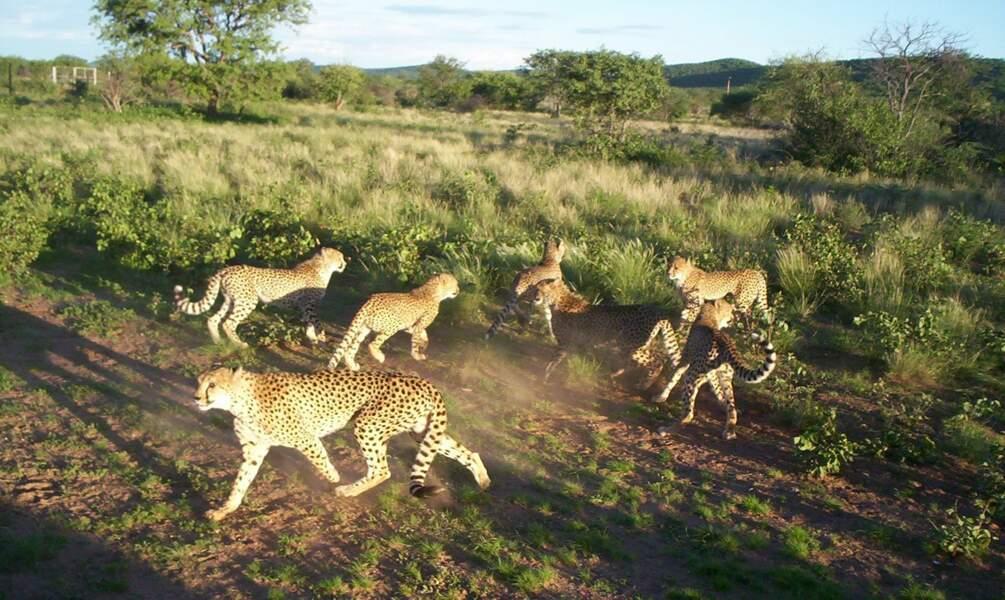 Observer les guépards en Namibie