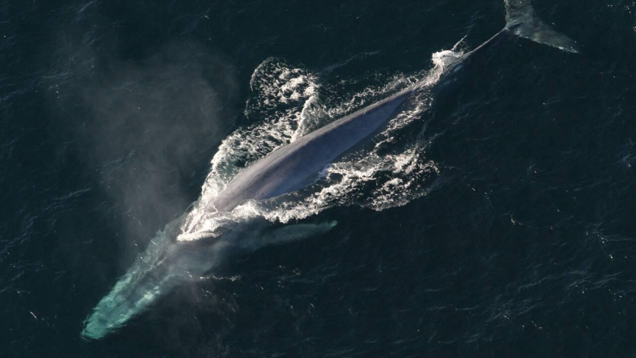 Les baleines bleues montrent un retour encourageant en Géorgie du Sud