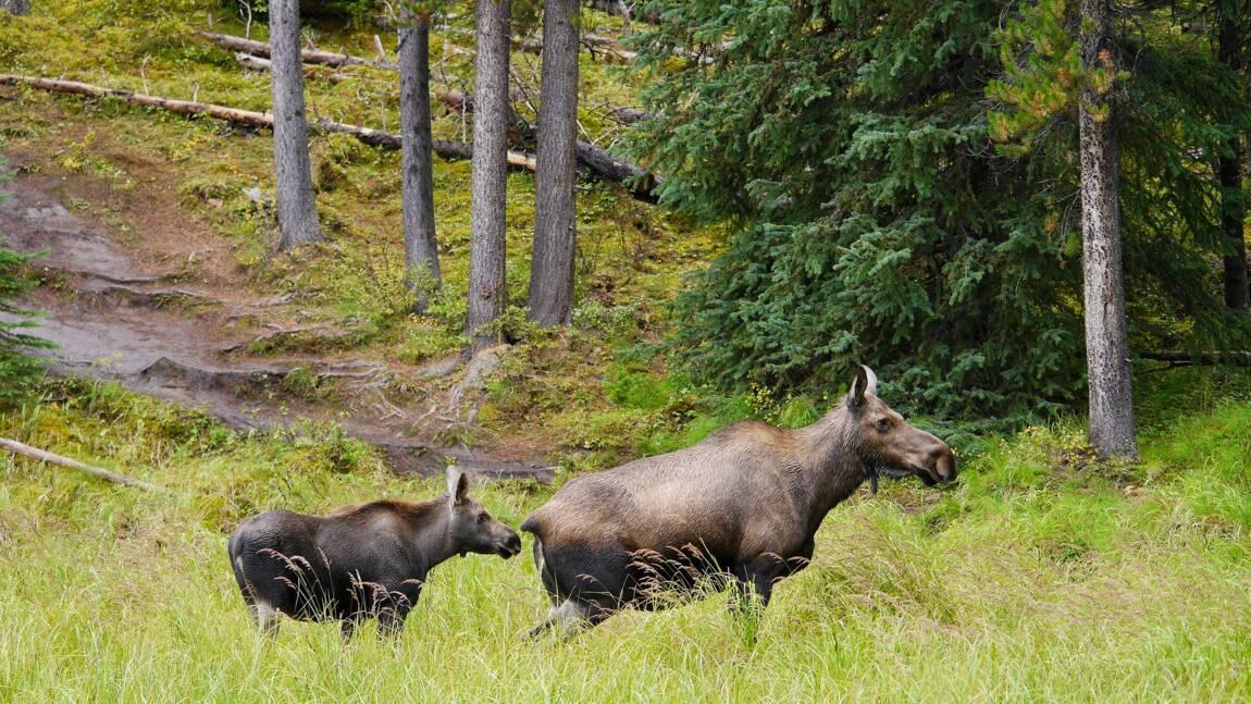"""""""Ne laissez pas l'élan lécher votre voiture"""" : le truculent message d'un parc canadien pour protéger sa faune"""