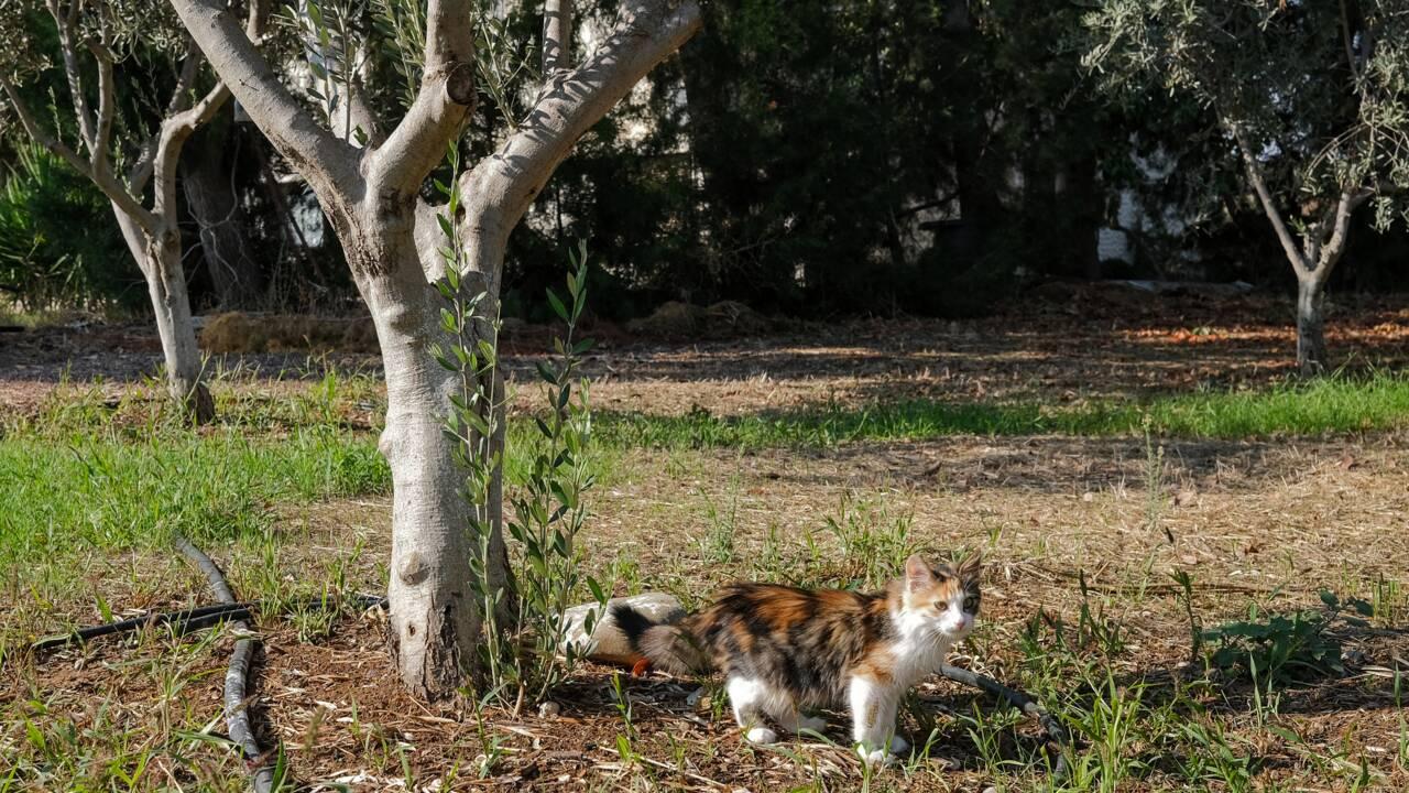 A Chypre, le changement climatique menace la culture millénaire des oliviers