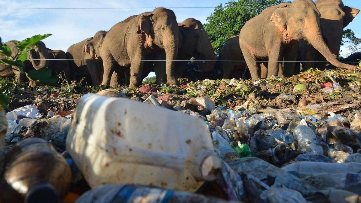Au Sri Lanka, des barrières et tranchées pour empêcher les éléphants de manger les déchets en plastique