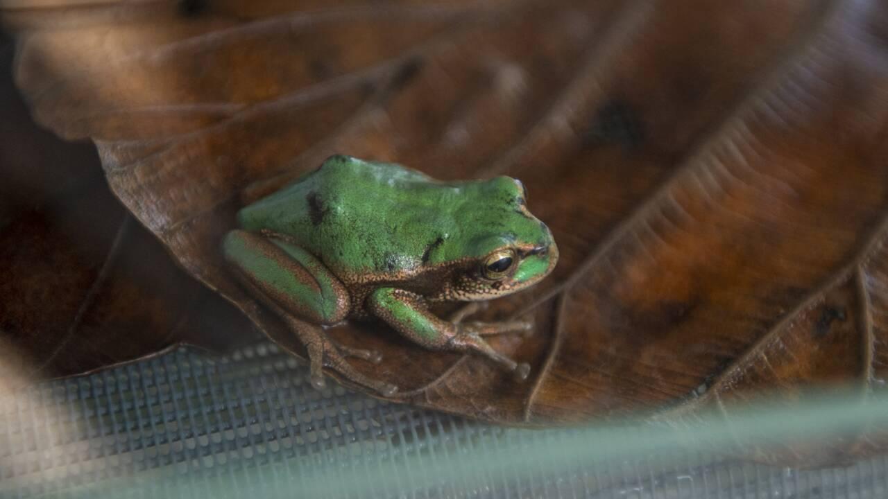 En Equateur, une colonie de grenouilles pour les sauver de l'extinction