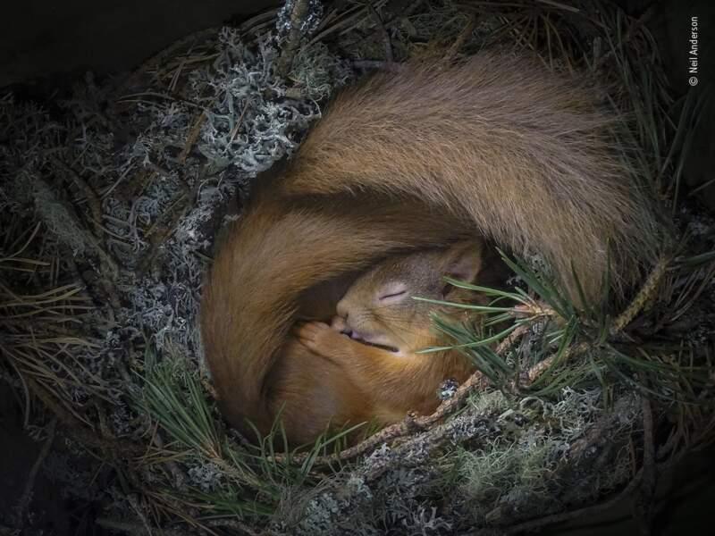 Nid d'écureuil