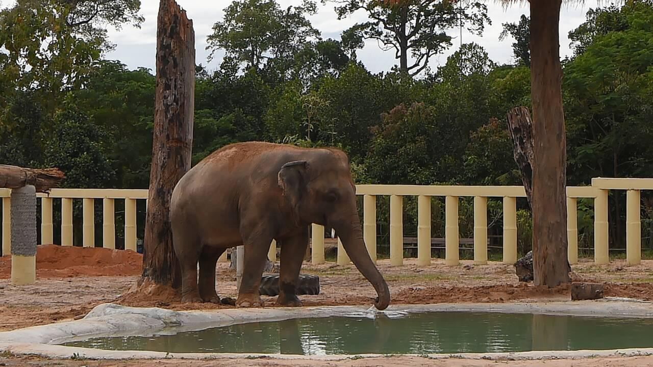"""Cambodge: """"l'éléphant le plus seul au monde"""" renoue avec ses congénères"""