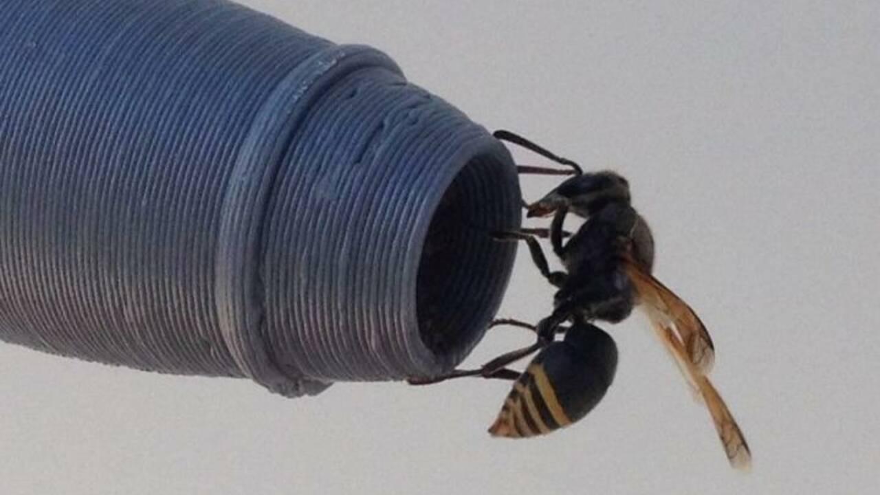 Pourquoi ces guêpes menacent la sécurité aérienne en Australie
