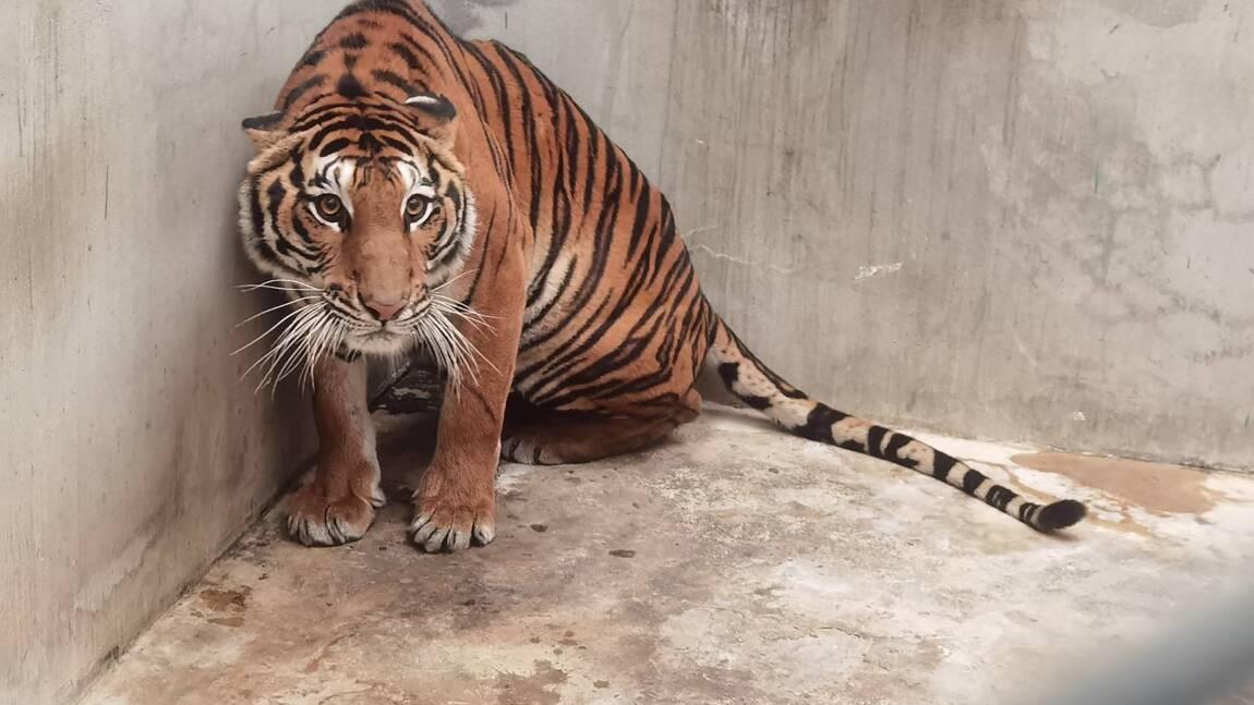 Thaïlande : un tigre retrouvé décapité dans un zoo factice