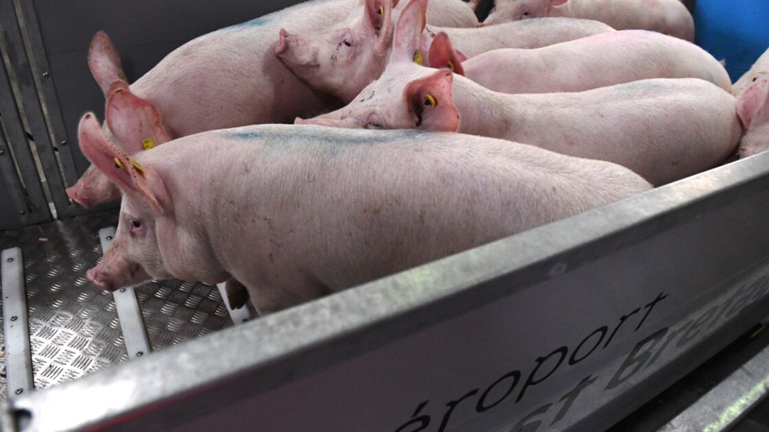 Souffrance animale: Londres veut interdire l'exportation de bétail destiné à l'abattage