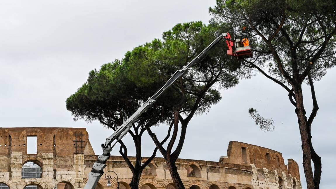 A Rome, un suceur de sève venu d'Amérique à l'assaut des pins parasols