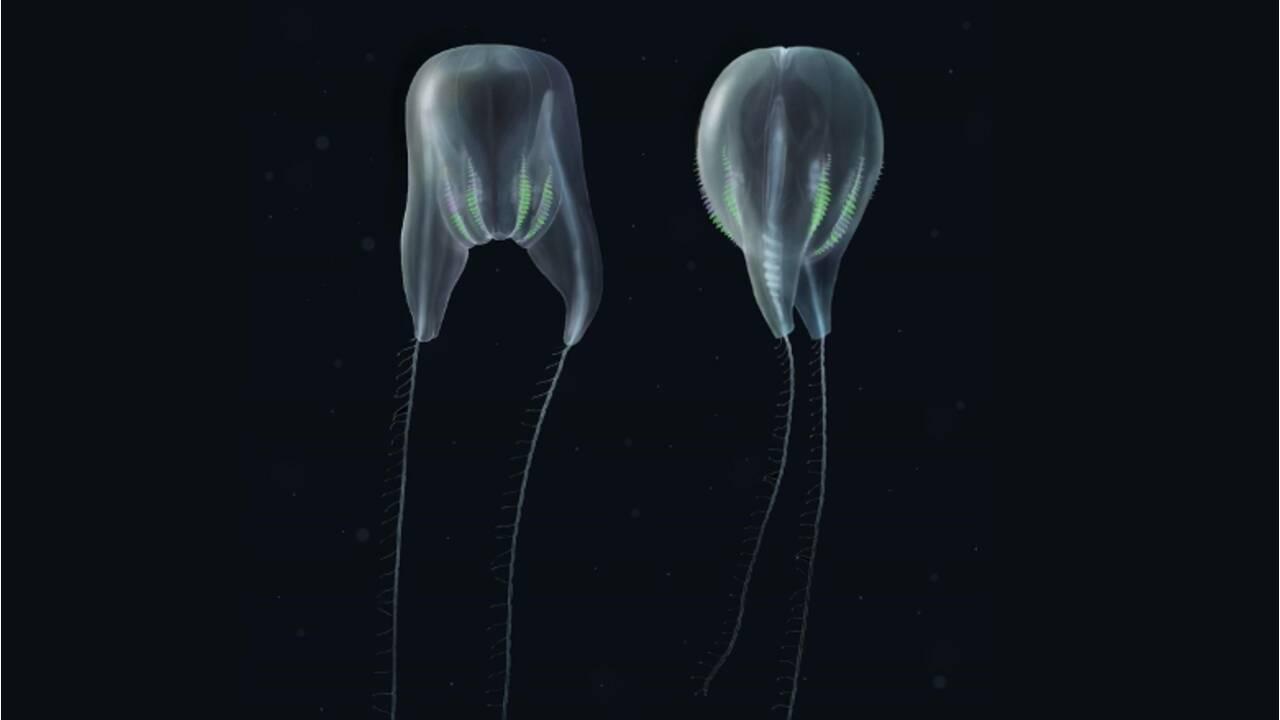 Une nouvelle espèce aux allures de ballon transparent identifiée dans un canyon sous-marin