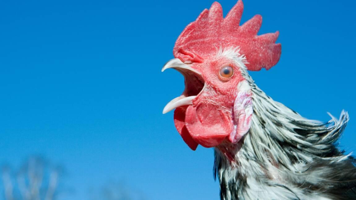Une peine de prison avec sursis pour le meurtrier du coq Marcel en Ardèche