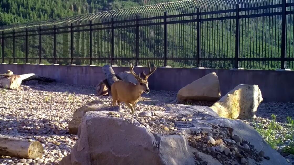 Deux ans après, ce pont construit pour la faune sauvage dans l'Utah est un succès