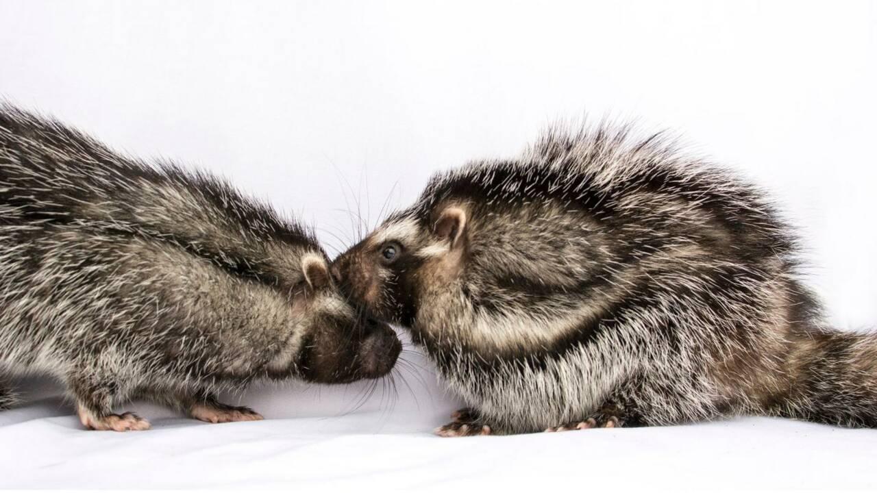 Ce rat africain peut tuer ses ennemis grâce à sa fourrure empoisonnée
