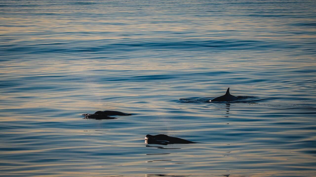Mexique : une nouvelle espèce de baleines à bec découverte au large de la Basse-Californie ?
