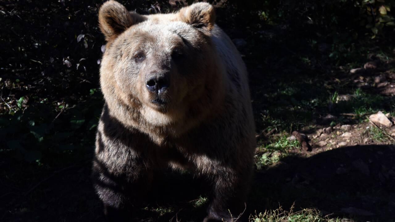 Pyrénées: l'ours Cachou a été empoisonné et le suspect principal est un garde forestier
