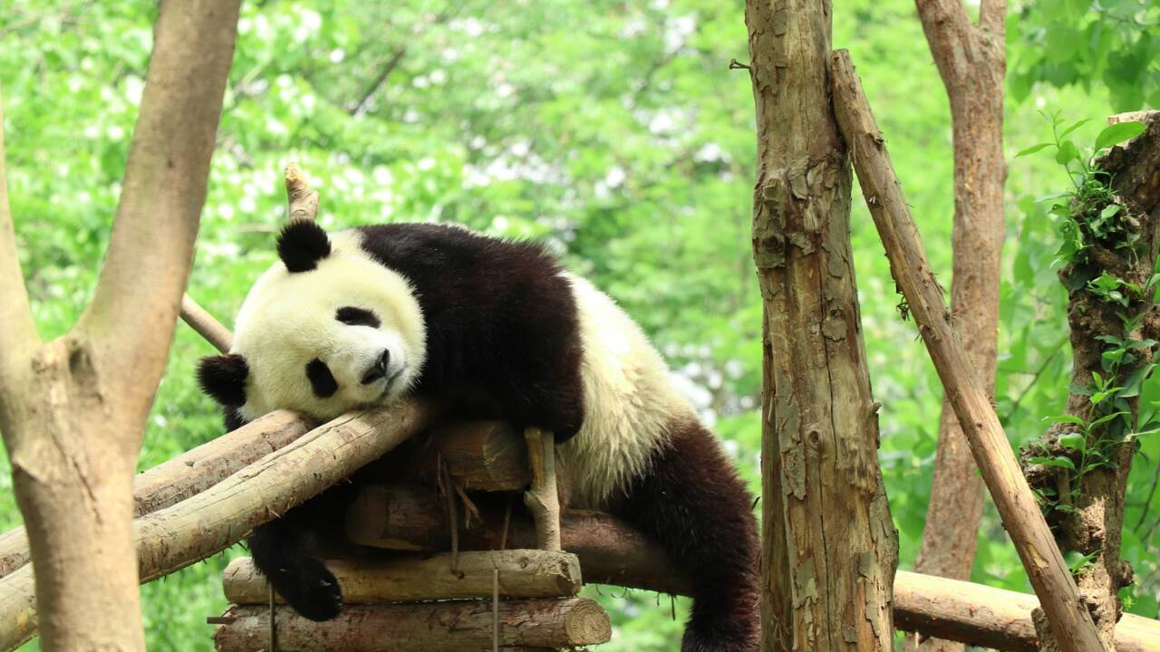 Une étude dévoile pourquoi les pandas aiment se rouler dans le crottin de cheval