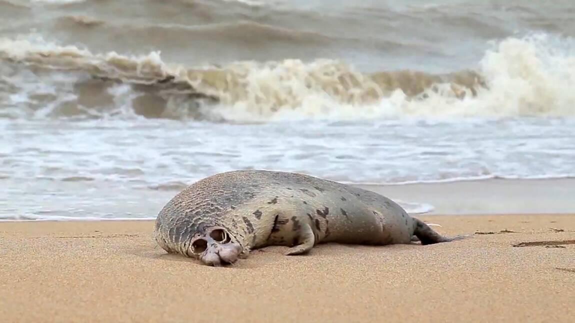 Russie: près de 300 phoques retrouvés morts au bord de la mer Caspienne