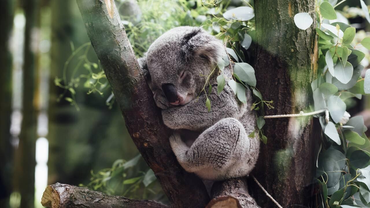 L'Australie lance une vaste opération pour recenser sa population de koalas