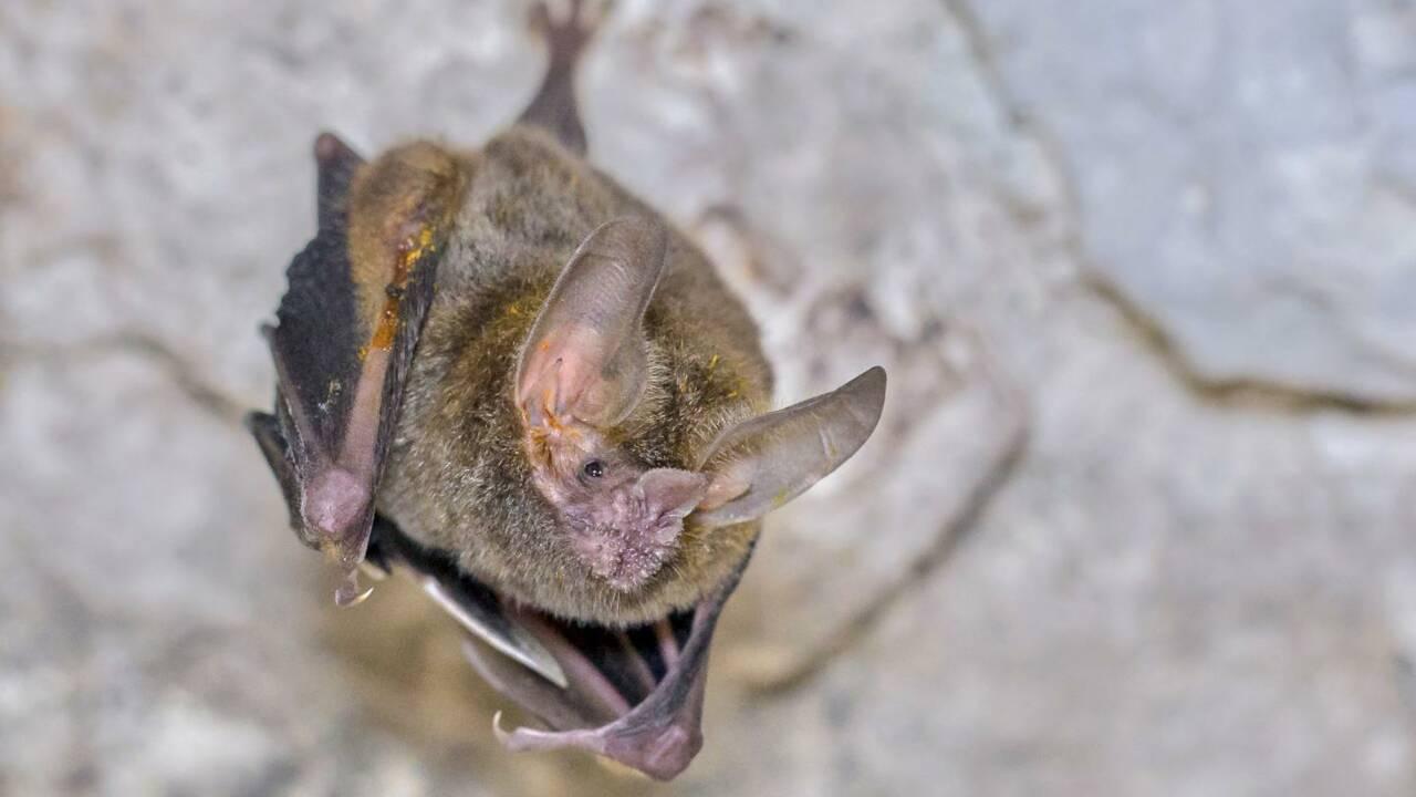 """Pour séduire, ces chauves-souris mâles se recouvrent de mystérieuses croûtes parfum """"testostérone"""""""