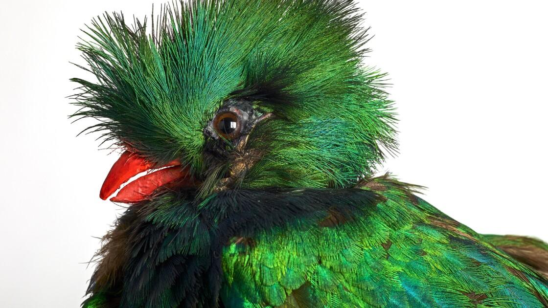 """""""L'Oiseau rare, de l'hirondelle au kakapo"""", une exposition sur la beauté fragile des oiseaux au Musée des Confluences"""