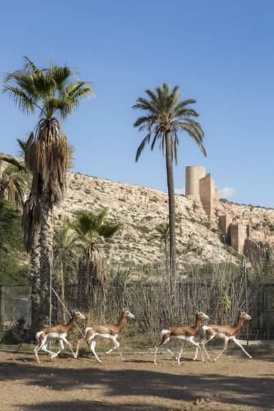 Ces gazelles sont les dernières de leur espèce