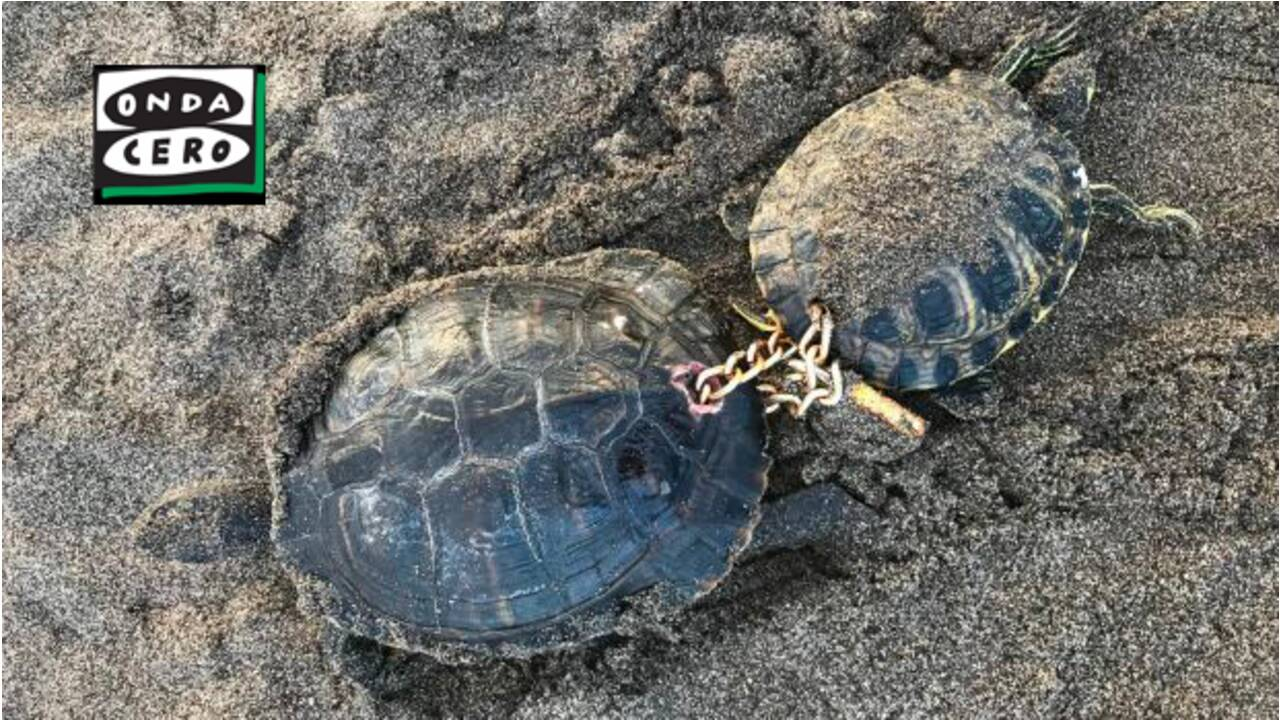 Deux tortues enchaînées par un cadenas découvertes aux Canaries