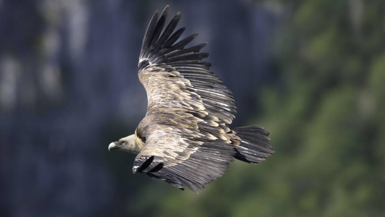 Dans le Vercors, le vautour est de retour