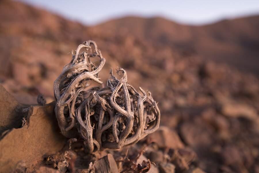 Le sommeil de la rose du désert attendant la pluie